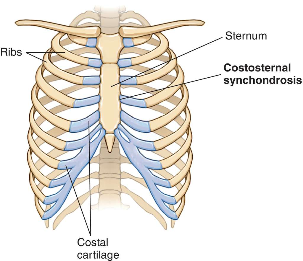 Full Size Picture Synchondrosis Jpg The sternum or breastbone is a vertical flat bone lying at the anterior middle part of the chest. medical dictionary the free dictionary