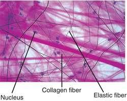 Areola tissue