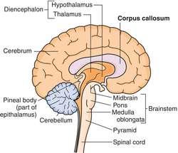 Corpus Callosum Definition Of Corpus Callosum By Medical Dictionary