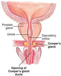 cowper's gland | definition of cowper's gland by medical dictionary, Human Body