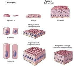Epithelium | definition of epithelium by Medical dictionary