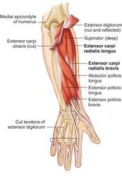 extensor carpi radialis brevis definition of extensor carpi
