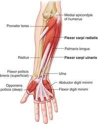flexor carpi radialis definition of flexor carpi radialis by