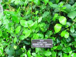 Khat | definition of khat by Medical dictionary