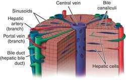 Liver Rupture Definition Of Liver Rupture By Medical