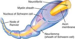 Myelin Sheath Definition Of Myelin Sheath By Medical