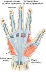 palmar aponeurosis definition of palmar aponeurosis by medical