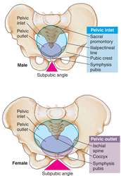 Pelvis | definition of pelvis by Medical dictionary