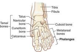 Phalanx   definition of phalanx by Medical dictionary