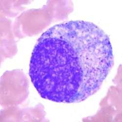 Promyelocyte | definition of promyelocyte by Medical ...