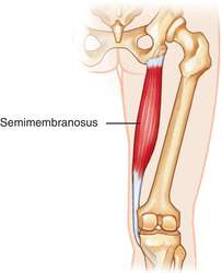 semimembranosus definition of semimembranosus by medical dictionary