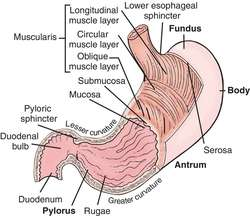 Stomach definition of stomach by medical dictionary ccuart Images