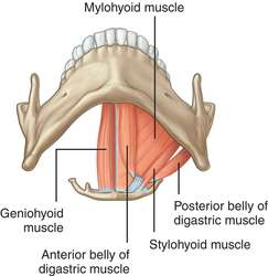 Image result for suprahyoid muscles