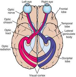 Optic Nerve Pathway