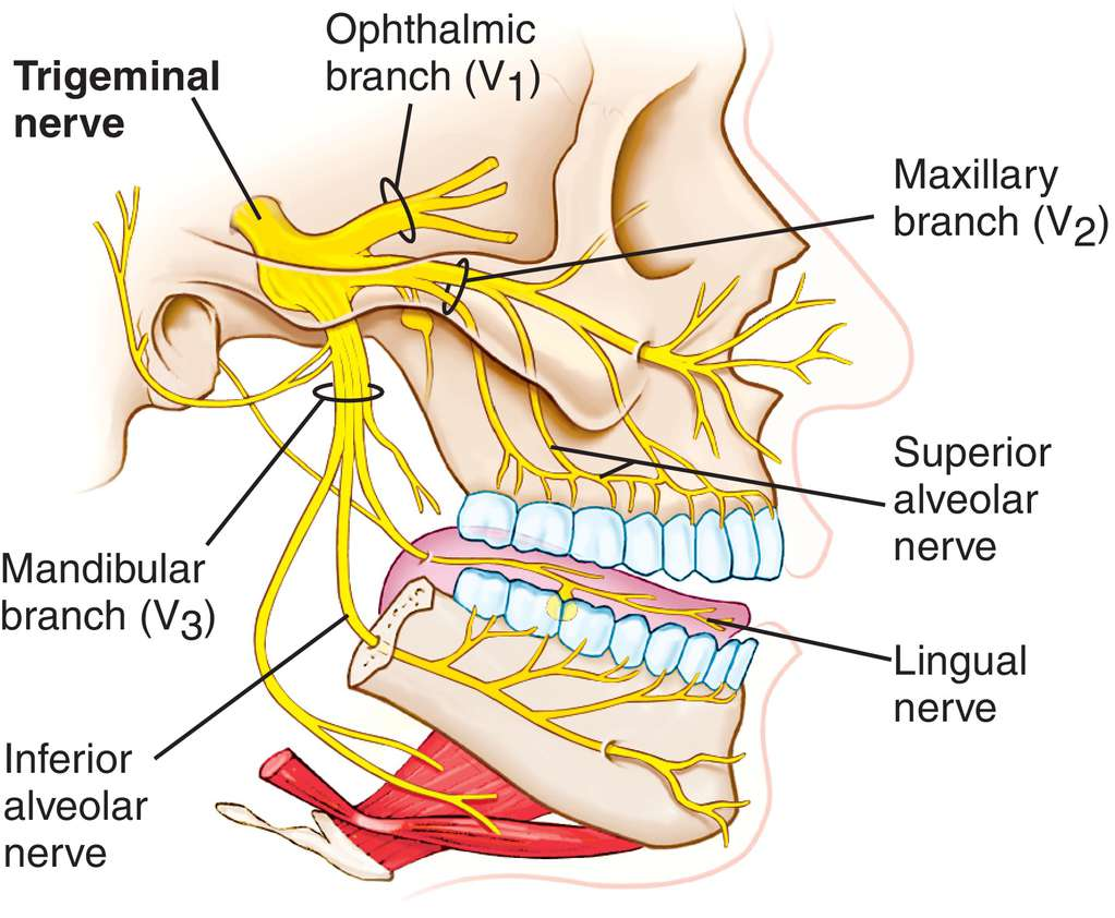 Trigeminal Nerve Facial Innervation Diagram Block And Schematic