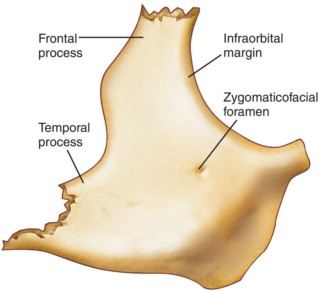 Full Size Picture Zygomatic Boneg