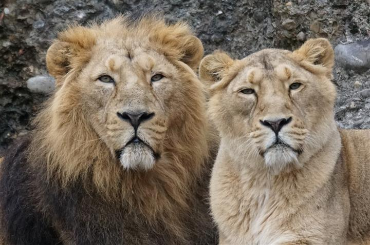 Group Of Lions Called 33