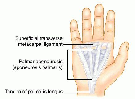 full size picture aponeurosis palmaris jpg