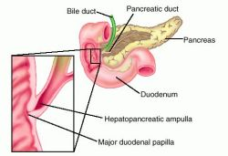 Ampullae Definition Of Ampullae By Medical Dictionary