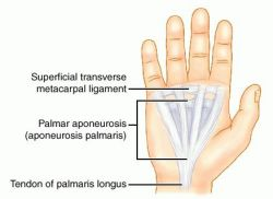 aponeurosis definition of aponeurosis by medical dictionary