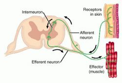 Define reflex arc circuit automotive wiring diagram arc disambiguation definition of arc disambiguation by medical rh medical dictionary thefreedictionary com polysynaptic reflex arc reflex arc diagram ccuart