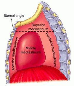 anterior mediastinum anatomy - photo #37