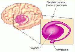 caudate nucleus nucleus caudatus definition of caudate nucleus
