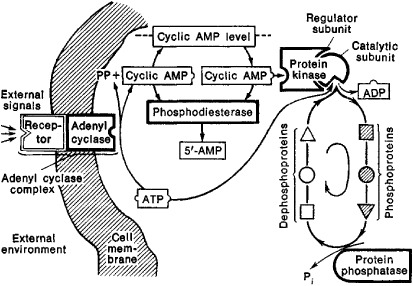 cyclic amp and gmp reciprocal relationship definition