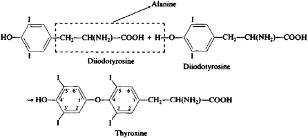 Thyroxine Article About Thyroxine By The Free Dictionary