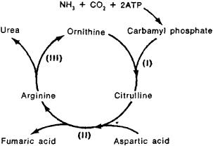 Arginine ornithine when to take