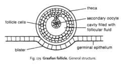 graafian follicle definition of graafian follicle by medical