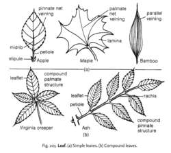 Fig. 205 Leaf. (a) Simple leaves. (b) Compound leaves.