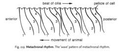 Metachronal rhythm