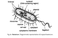 Bacterium | definition of bact...