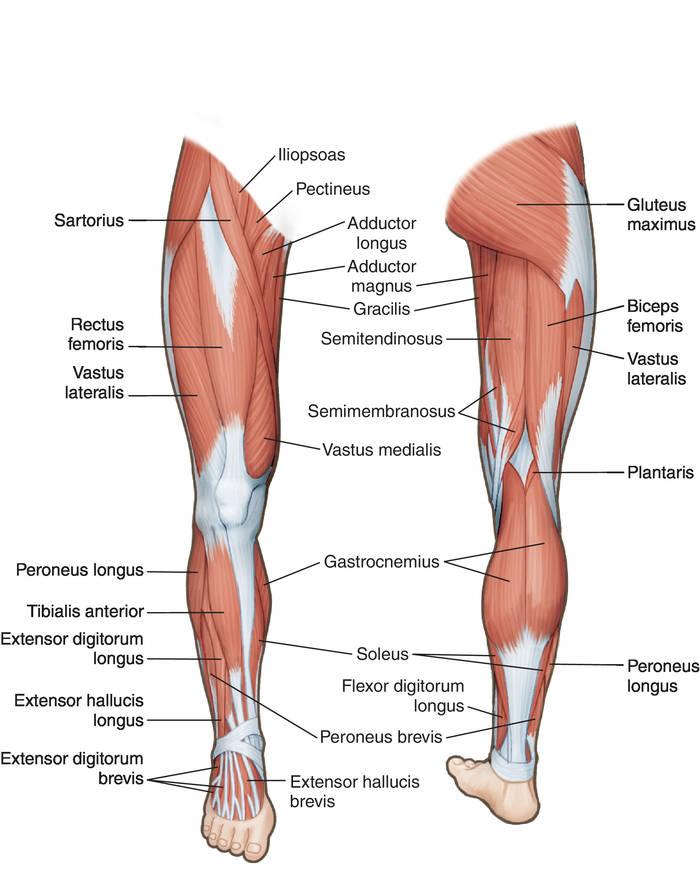 Все мышцы ног в картинках