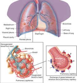 Alveoli | definition of Alveoli by Medical dictionary