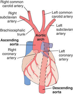 Aorta | definition of aorta by Medical dictionary