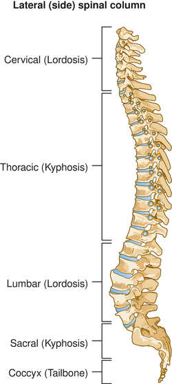 Human Spine Definition Of Human Spine By Medical Dictionary