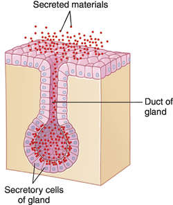 Epithelial | definition of epithelial by Medical dictionary