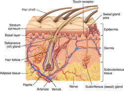 Human Hair Definition Of Human Hair By Medical Dictionary