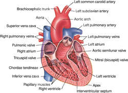Human heart definition of human heart by medical dictionary ccuart Gallery