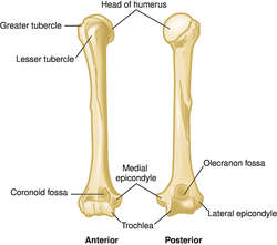 Humerus | definition of humerus by Medical dictionary