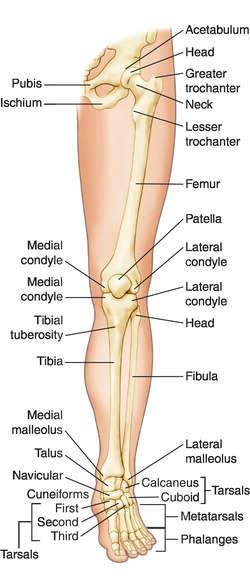 Leg anatomy definition of leg anatomy by medical dictionary ccuart Gallery