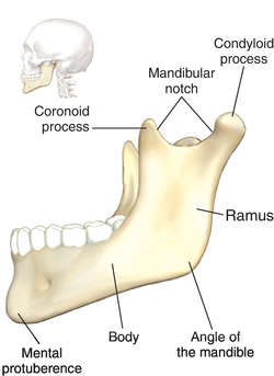 mandible definition of mandible by medical dictionary