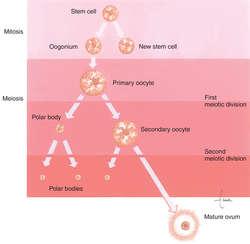 Ovogenesis yahoo dating