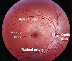 Retinal arteries and veins | definition of Retinal arteries and ...