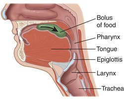 Swallowing | definition of swallowing by Medical dictionary