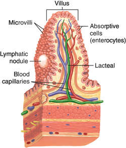 Intestinal Villus Definition Of Intestinal Villus By Medical