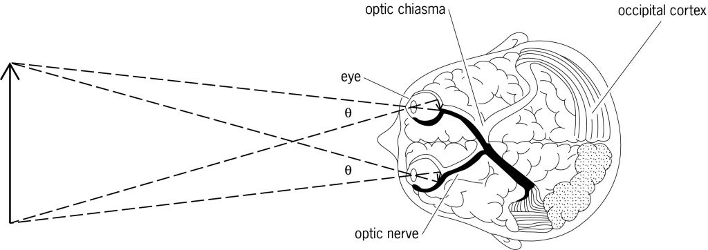 Full Size Picture Diagram Showing The Eyes And Visual Projection