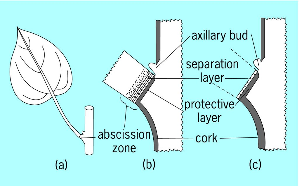 Full Size Picture Diagrams Of The Abscission Zone Of A Leafg